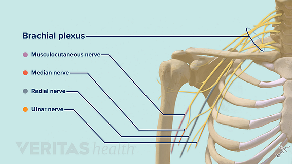 Nerves of the shoulder including brachial plexus, musculocutaenous nerve, median nerve, radial nerve, ulnar nerve