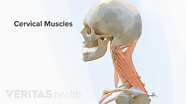 Medical illustration of the muscles in the cervical spine