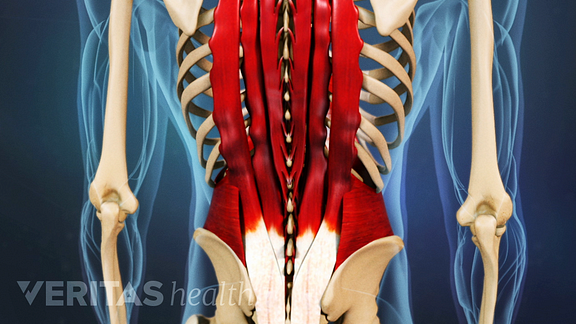 Posterior view of the back showing muscles.