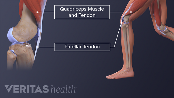 Anatomy of the hamstrings and patellar tendon