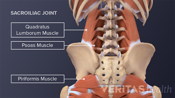 Posterior view of the trunk highlighting the quadratus lumborum muscle, psoas muscle, and pirifomis muscle.