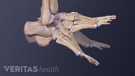 Dorsal view of the bones of the foot flexing and extending
