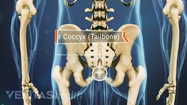Skeletal view highlighting the Coccyx (tailbone)