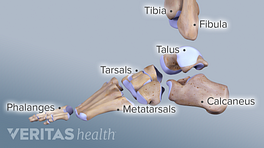 Medical illustration of the bones of the foot and ankle