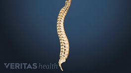 Posterior view of the entire spine.