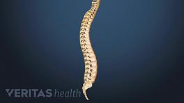 Medical illustration showing the entire spinal column