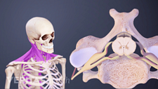 Anterior view of the cervical muscles and a superior view of a vertebra.