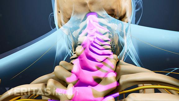 Spinal cord spinal column