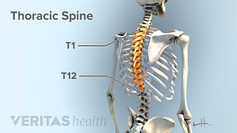 Thoracic spine with the thoracic vertebra highlighted from T1-T12.
