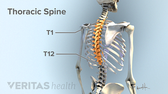 Illustration of the thoracic spine with the thoracic vertebra highlighted.