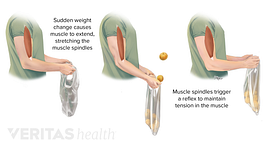 Muscle spindles in the bicep are stretched and contracted to result in a reflex