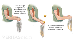 Ways that muscle spindles in the bicep are stretched and contracted to result in a reflex