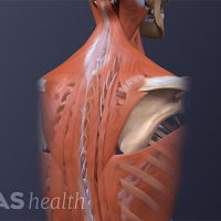 Posterior view of the spine highlighting the muscles of the upper back.