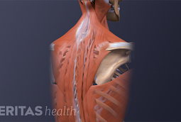 Medical illustration of the upper back muscles