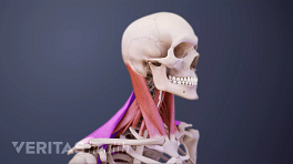 Profile, posterior view of muscles of the neck