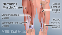 Posterior view of the hamstring muscle anatomy