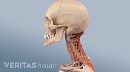 Cervical spine anatomy illustration muscles and vertebrae