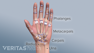 Medical illustration of the bones of the hand and wrist