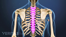Posterior view of the upper back highlighting the thoracic spine.
