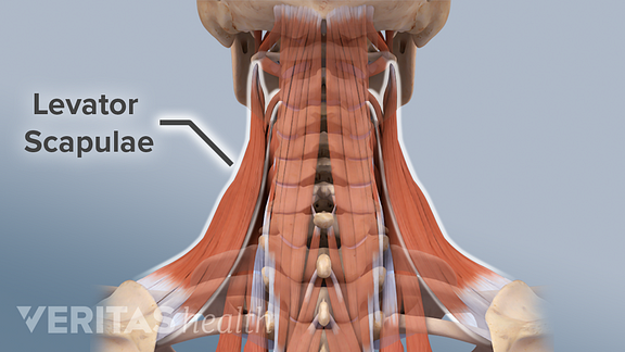 Illustration of the levator scapulae muscle