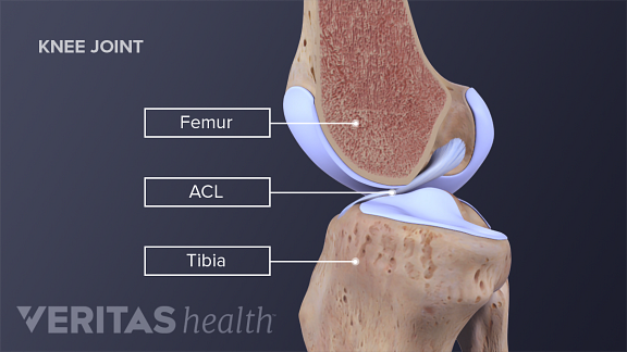 Anatomy of the ACL in the knee joint