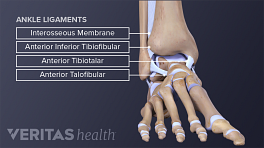 Anterior and posterior views of the ankle ligaments