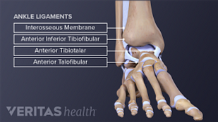 Medical illustration of ankle ligaments