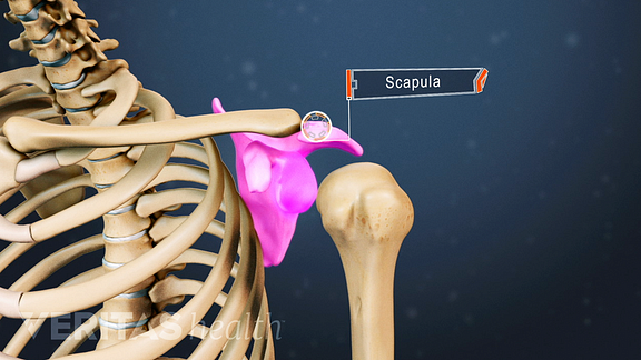 Medical illustration of the upper body, highlighting the scapula
