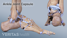 Illustration of the ankle joint capsule
