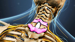 Posterior view of cervical spine showing interspinous process.