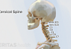 Medical illustration of the skill and cervical spine