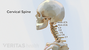 Illustration of the vertebrae in the cervical spine