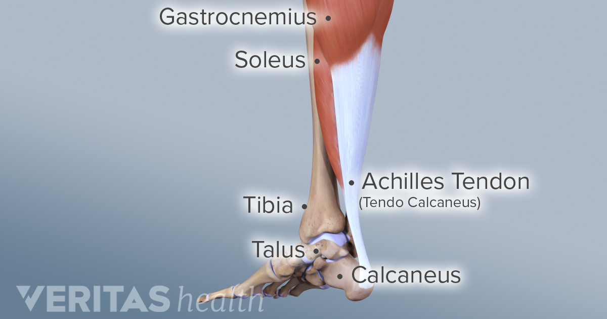 an overview of the achilles tendon rupture in the anatomy of humans Clinically relevant anatomy it is estimated that achilles tendonosis accounts for around 11% of all running injuries the achilles tendon is the large tendon at the.