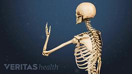 Illustrated skeleton showing range of motion in the arm and shoulder bones