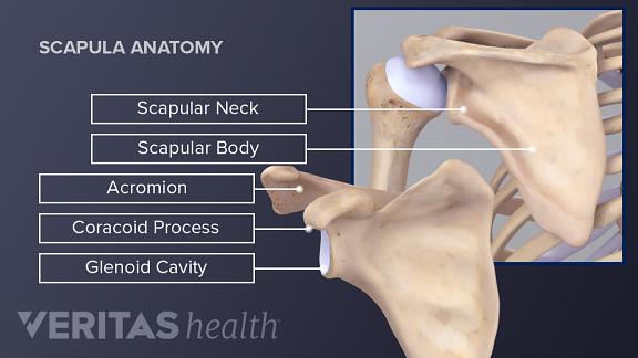 Medical illustration of scapula anatomy