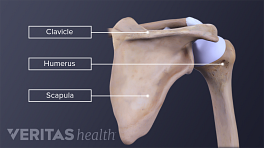 Illustration of the shoulder bones with the clavicle, scapula and humerus labeled