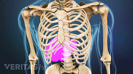 Medical illustration of a skeleton's torso. The liver location is highlighted in red