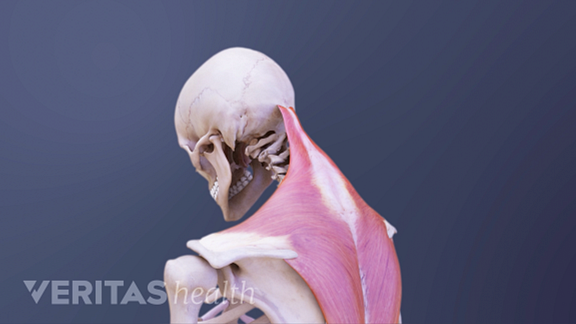 Posterior view of the upper body showing neck bending forward.
