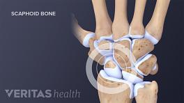 Carpal bones of the hand and wrist