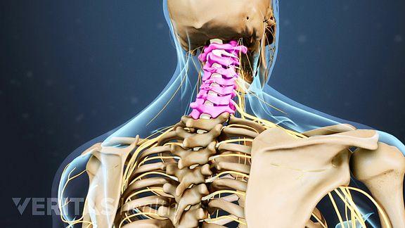 vertebrae