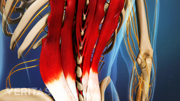 image of the lower back muscles