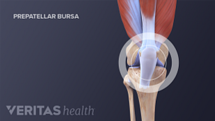 Knee joint anatomy illustration