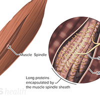 Medical illustration of muscle spindles