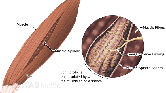 Enlarged view of muscle spindles