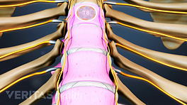 Anterior view of throacic vertebra labeling T8.