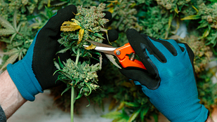 Image of a person pruning a cannabis plant