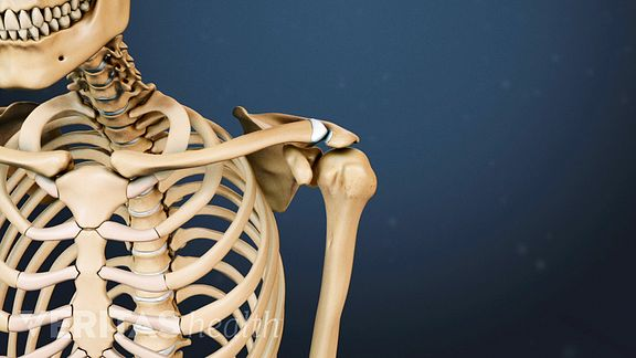 anatomy of clavicle and shoulder