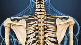 Posterior skeletal view of the cervical and thoracic spine