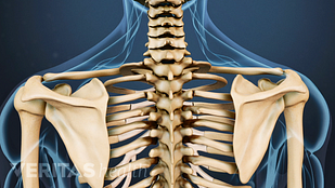 Posterior view of upper body skeletal system.