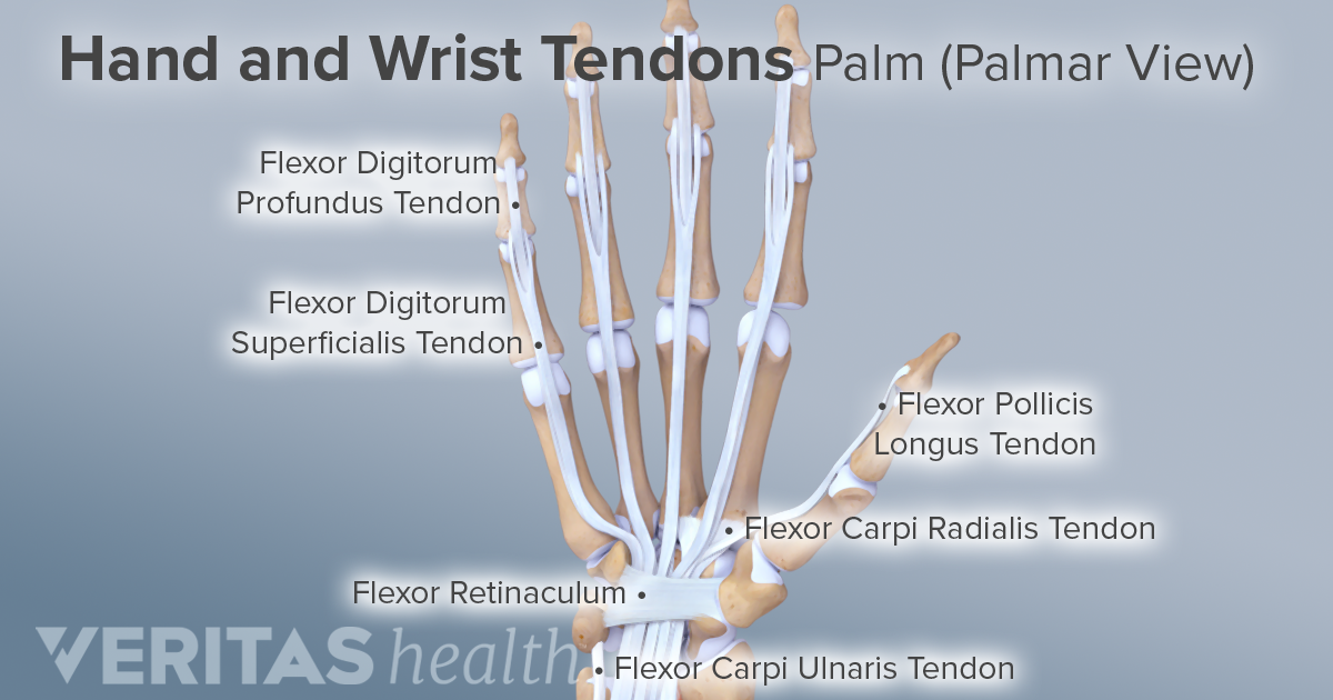 ligaments  tendons  and nerves of the wrist